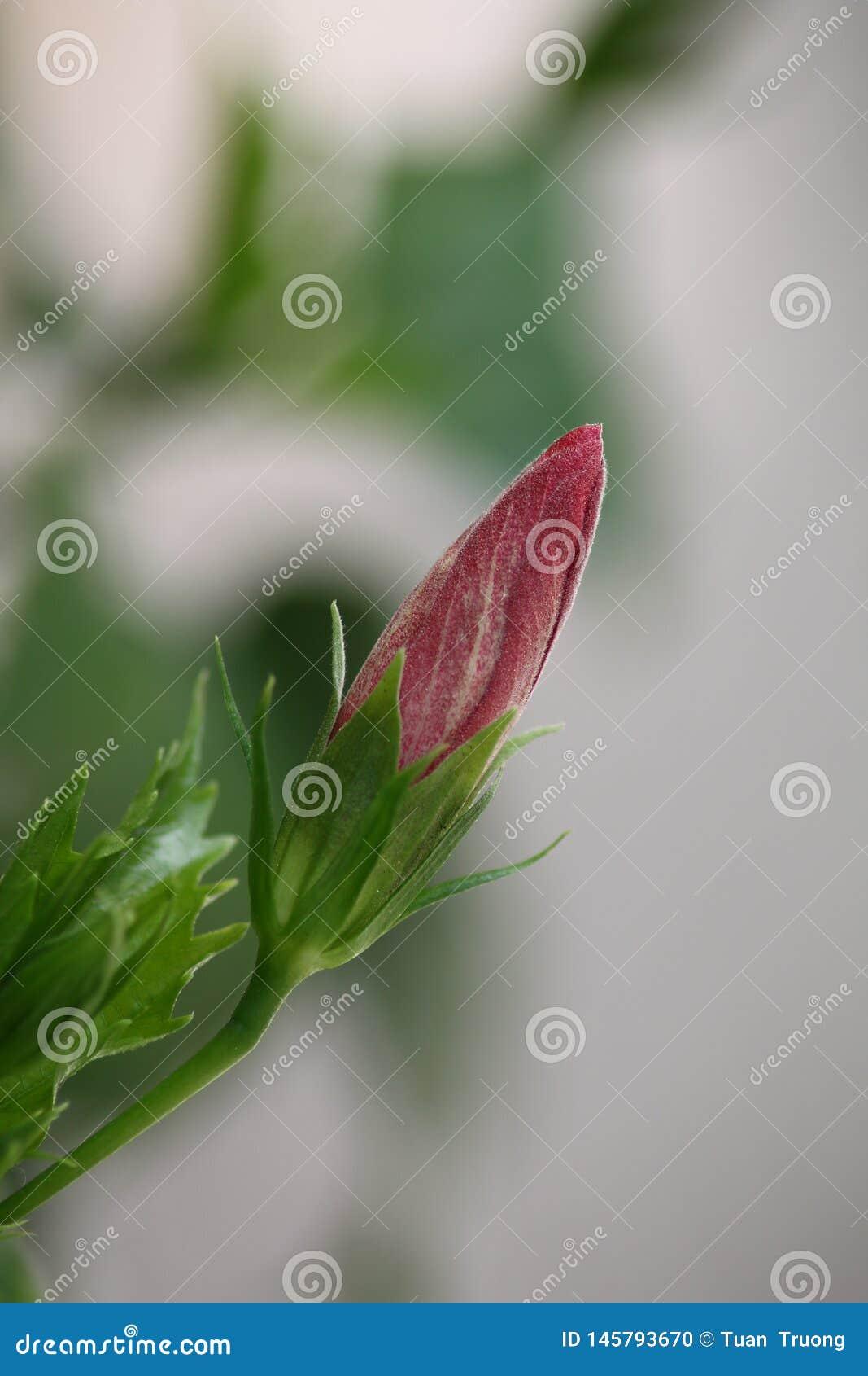 De bloemknoppen van hibiscus rosa-sinensis