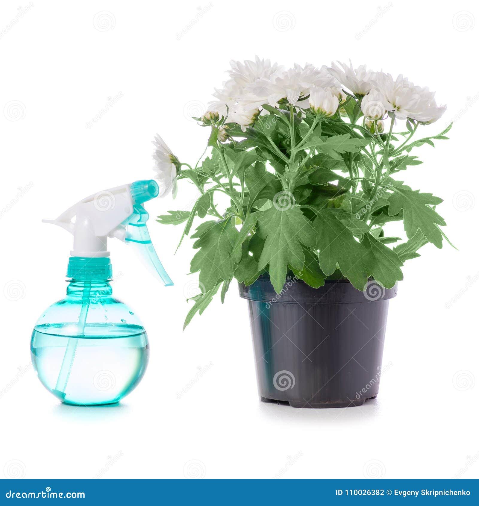 De bloemspuitbus van de chrysanteninstallatie