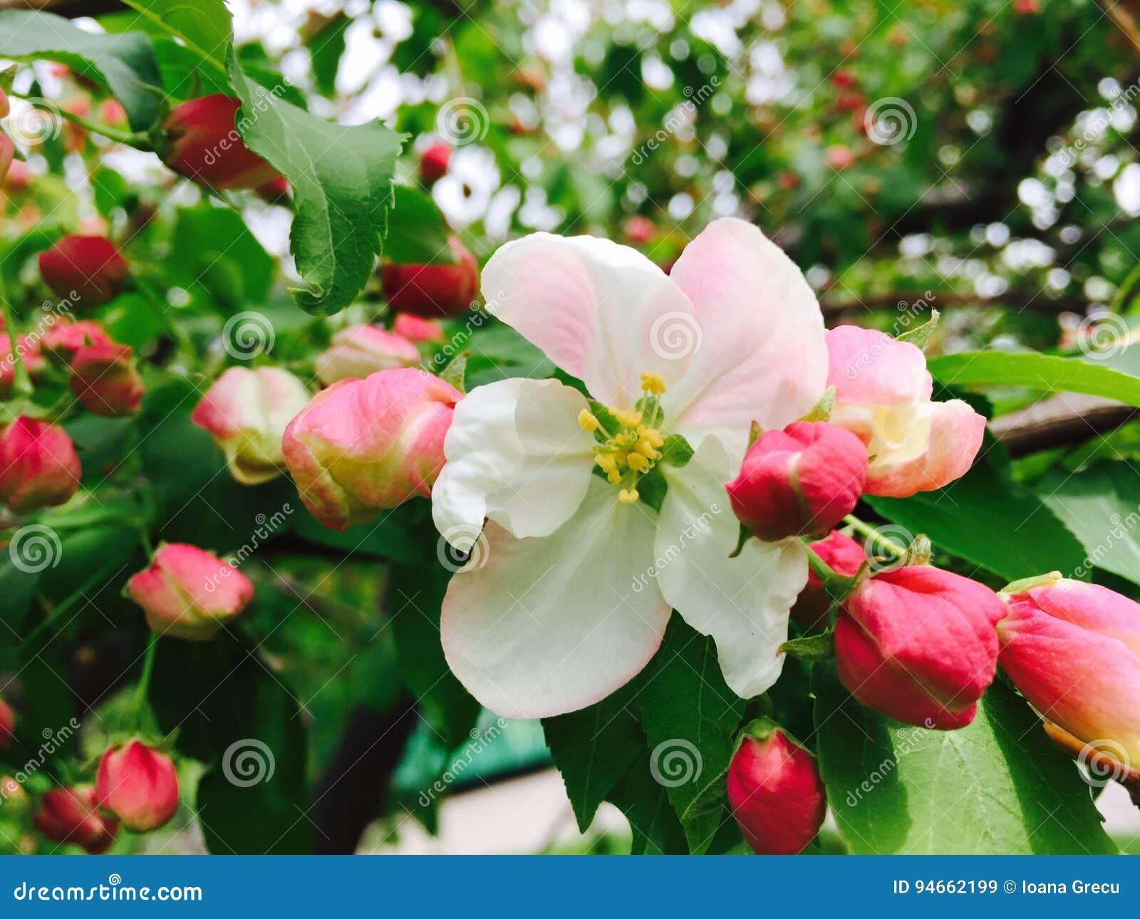 De Bloesem van de appel