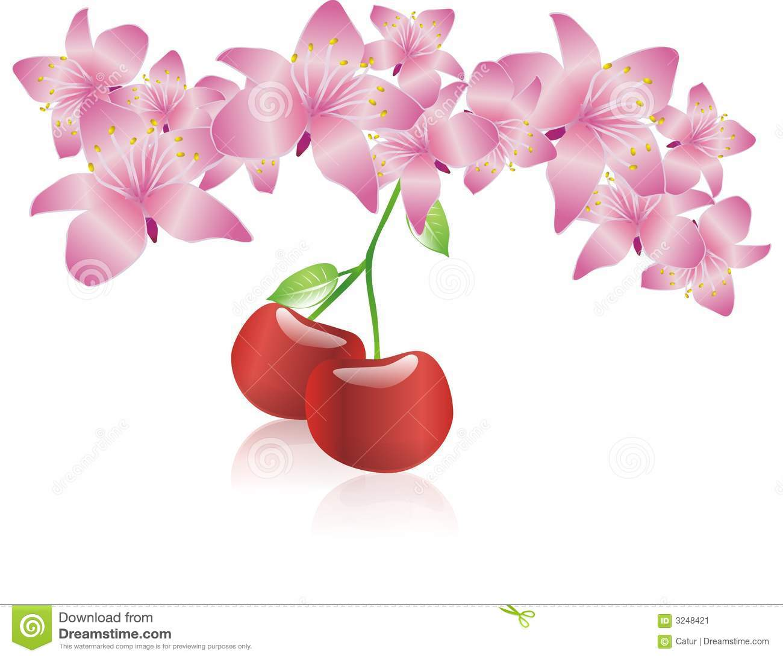 De bloesembloem van de kers