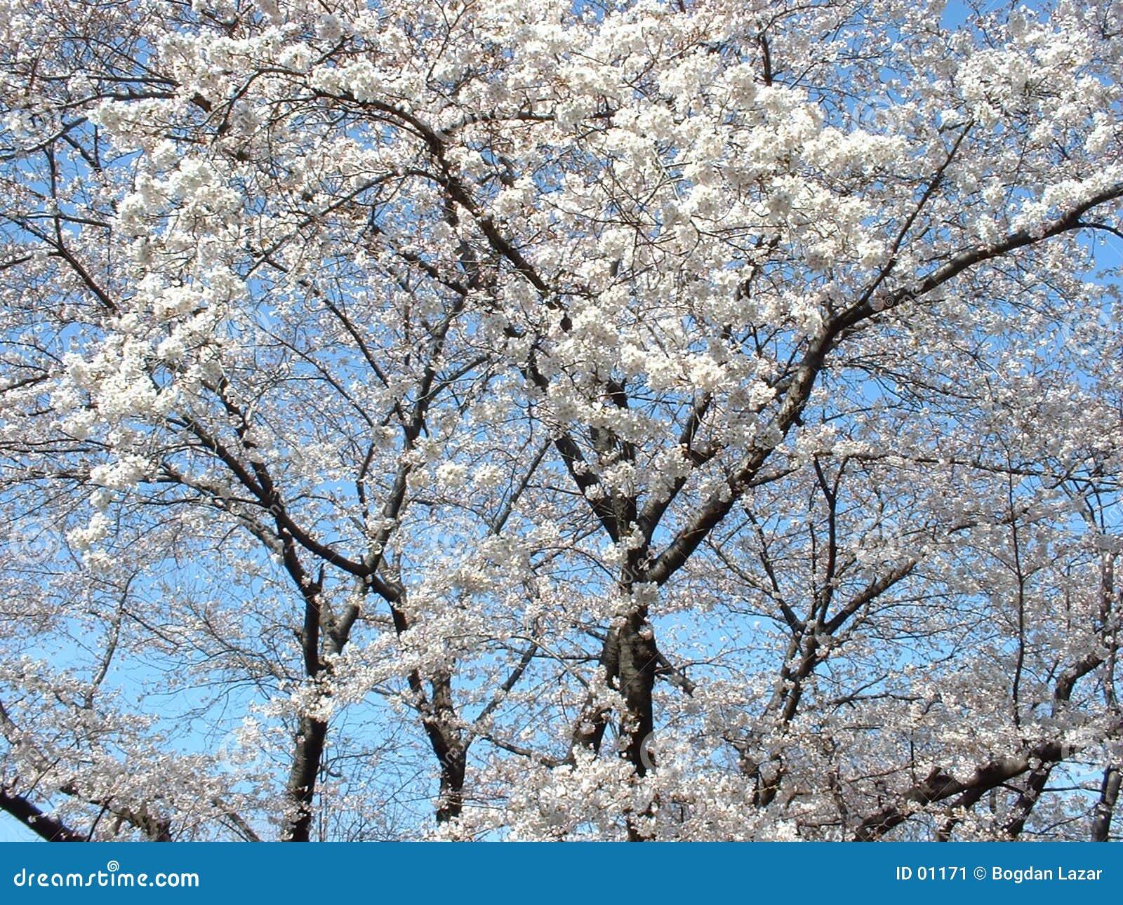 De bloesemboom van de kers