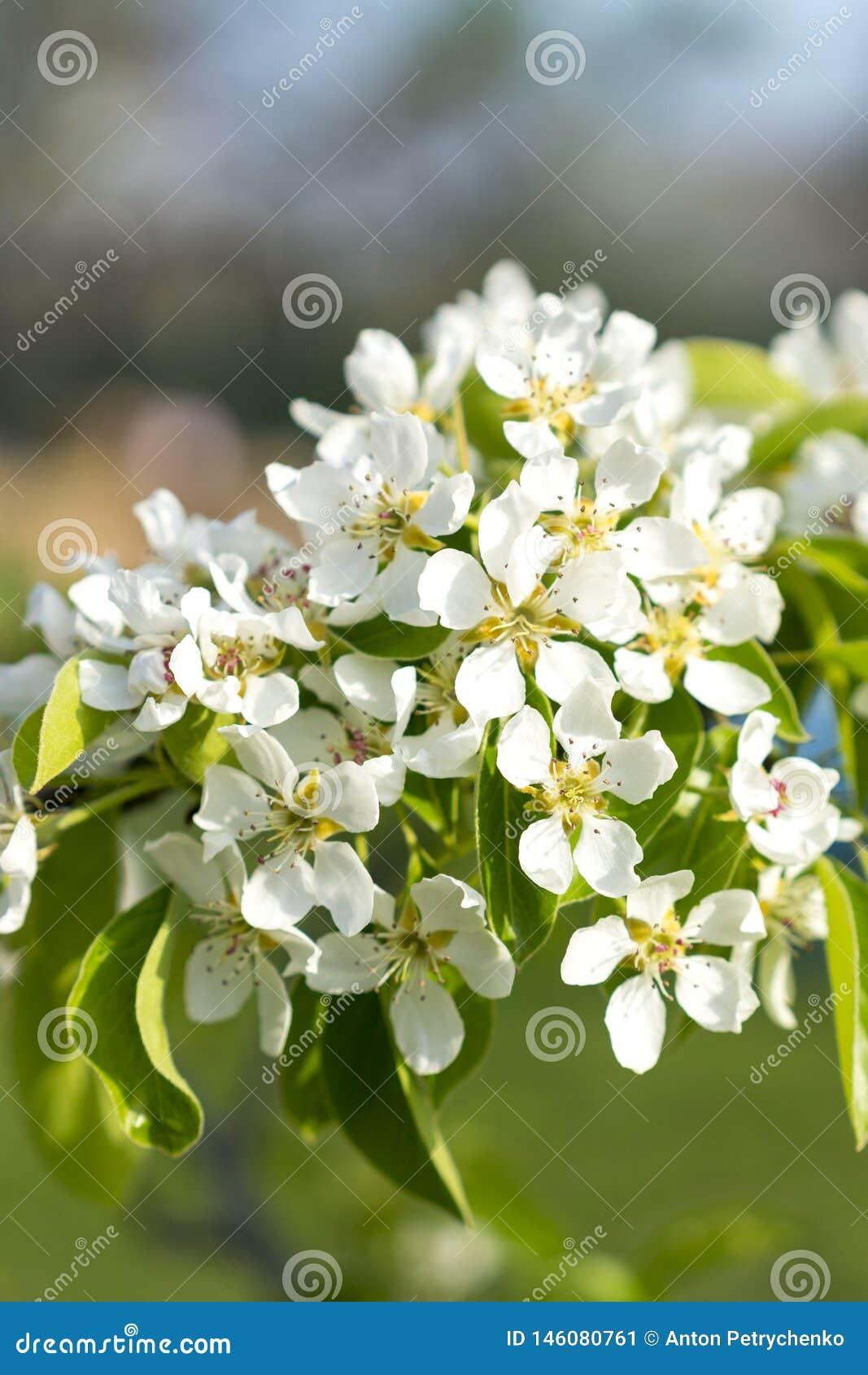De bloesemclose-up van de perenboom Witte perenbloem op naturlachtergrond De bloesemclose-up van de fruitboom Ondiepe Diepte van