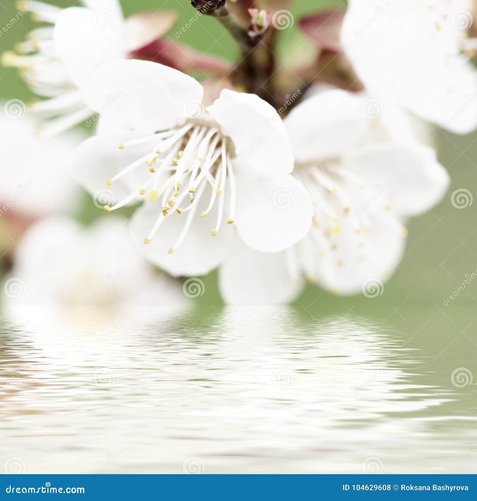 Download De Bloesems Van De Abrikozenboom Stock Foto - Afbeelding bestaande uit sluit, bloemen: 104629608