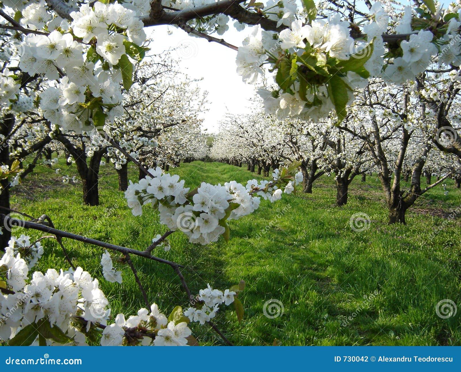 De bloesems van de kers in boomgaard