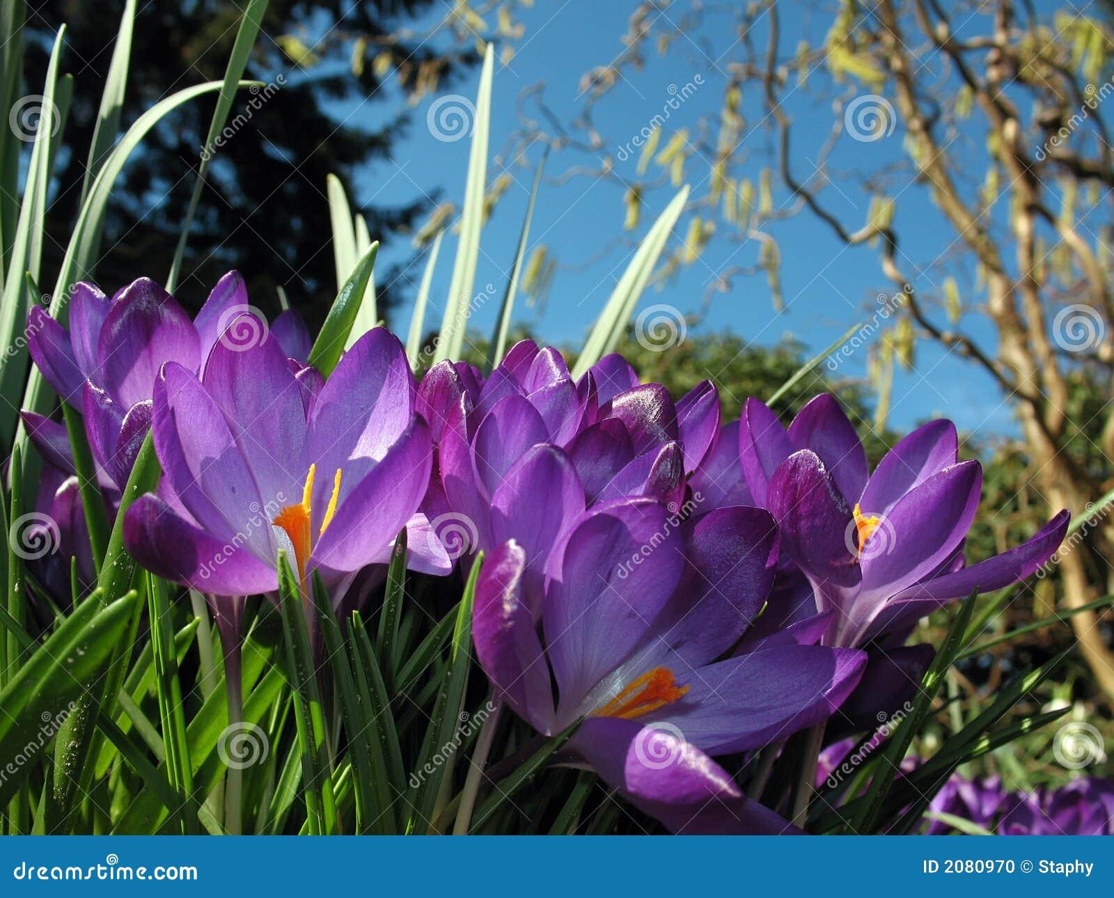De bloesems van de krokus in bloembed