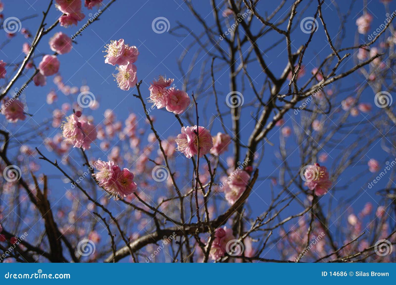 De bloesems van de lente