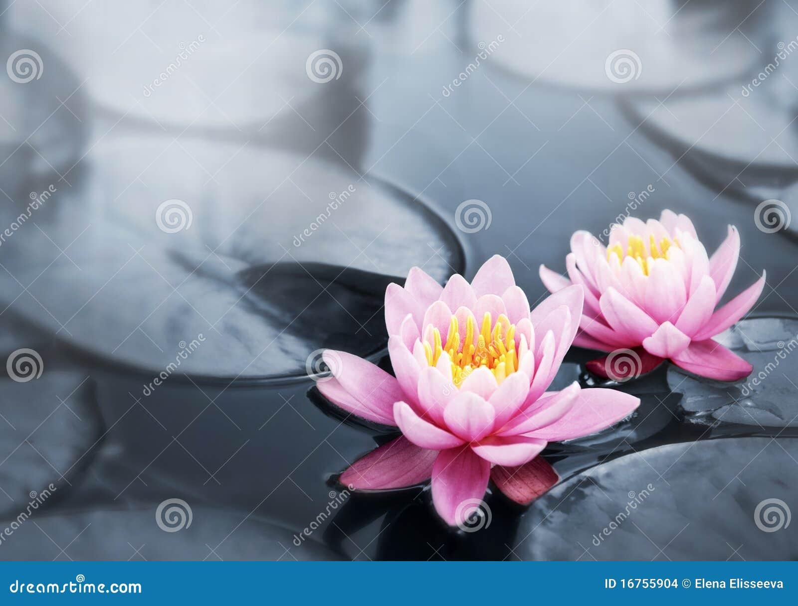 De bloesems van Lotus