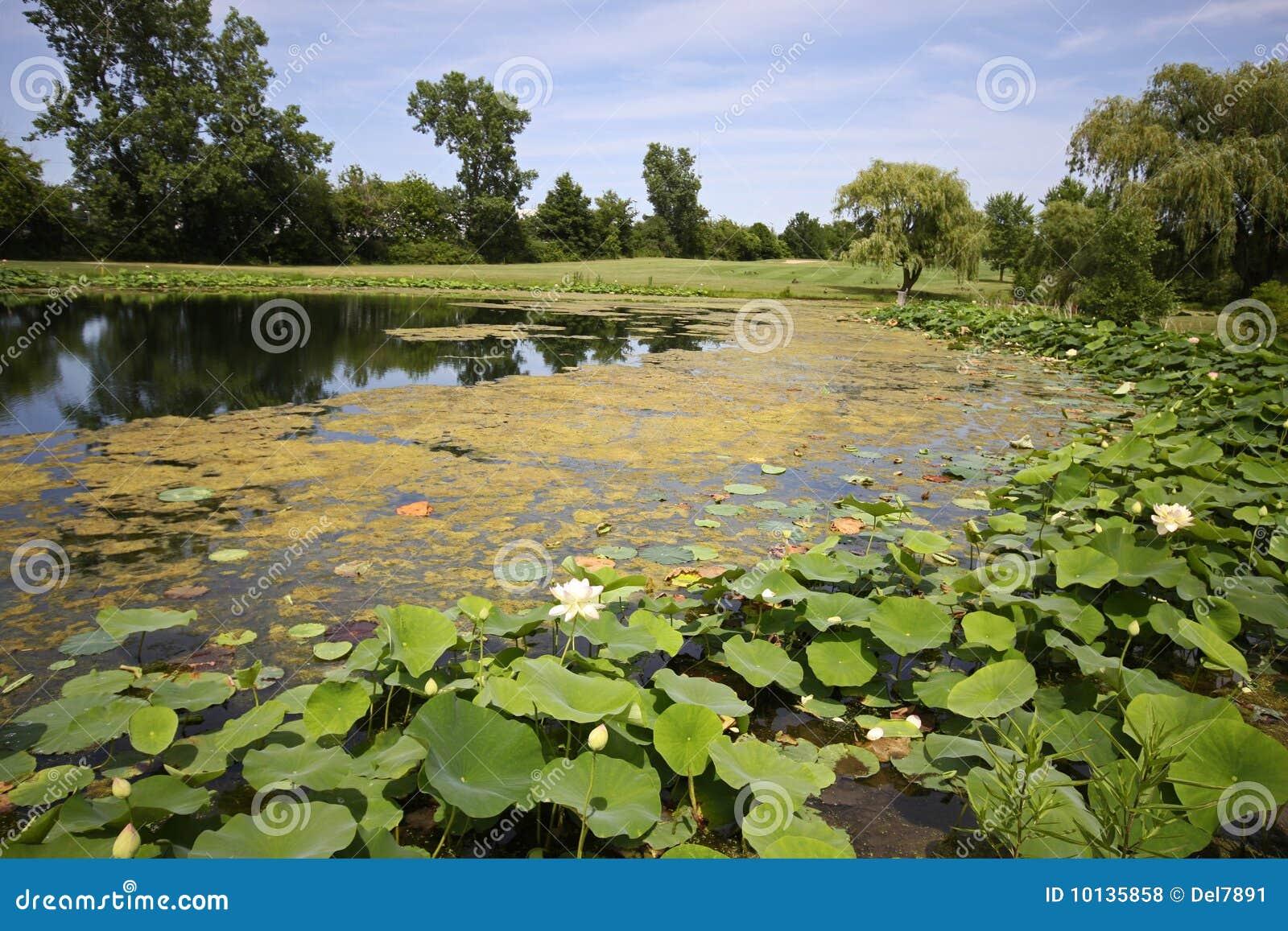 De bloesems van Lotus in vijver op golfcursus