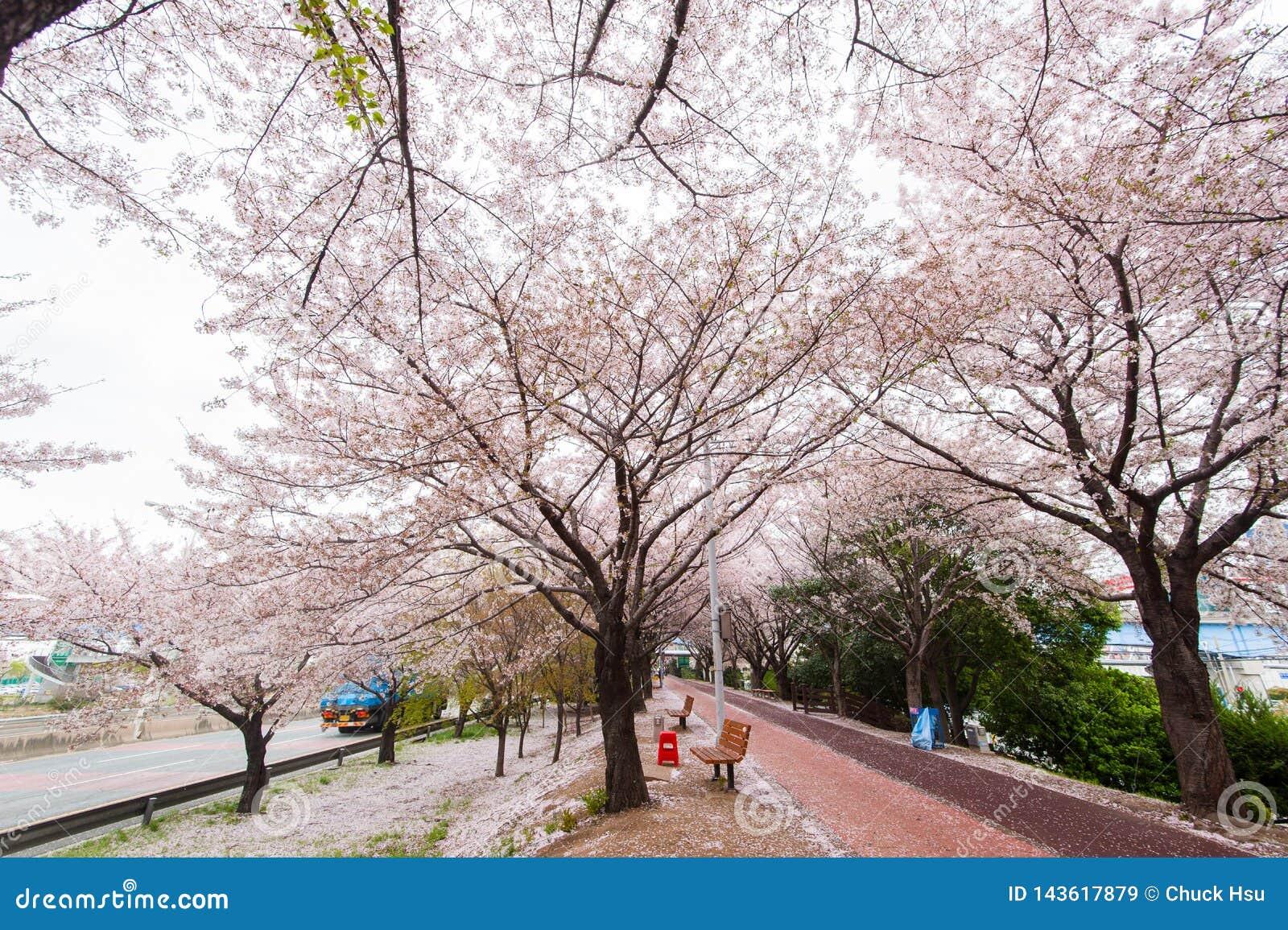 De bloesemseizoen van de de lentekers, Busan, Zuid-Korea
