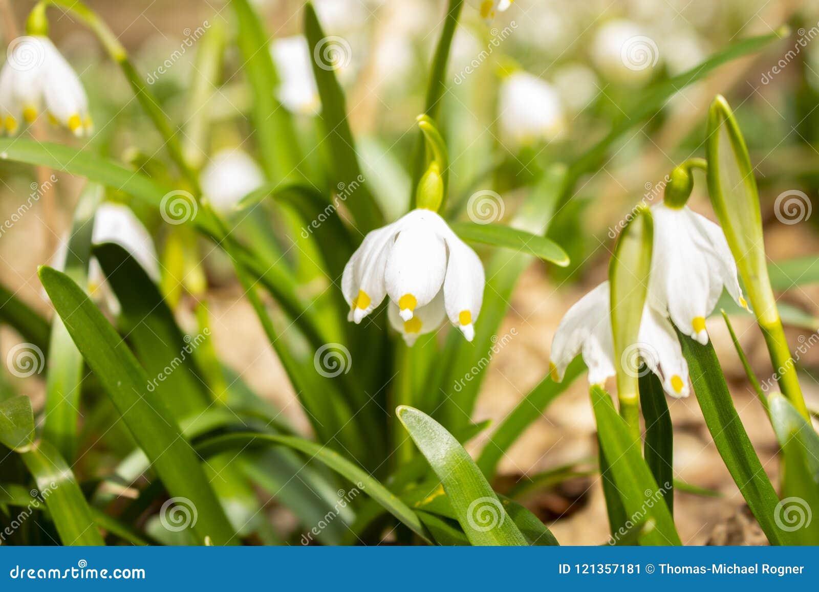 De bloesemseizoen van de lentesneeuwvlokken op een weide