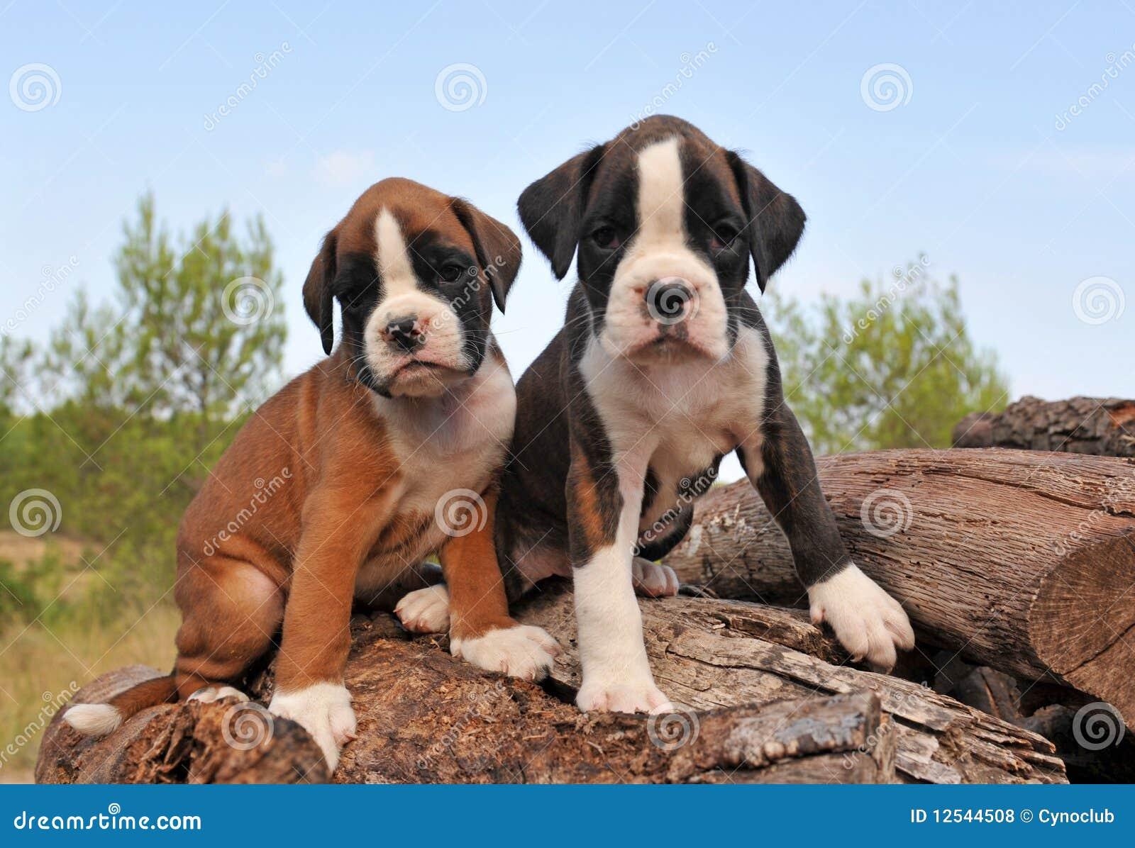 De bokser van puppy
