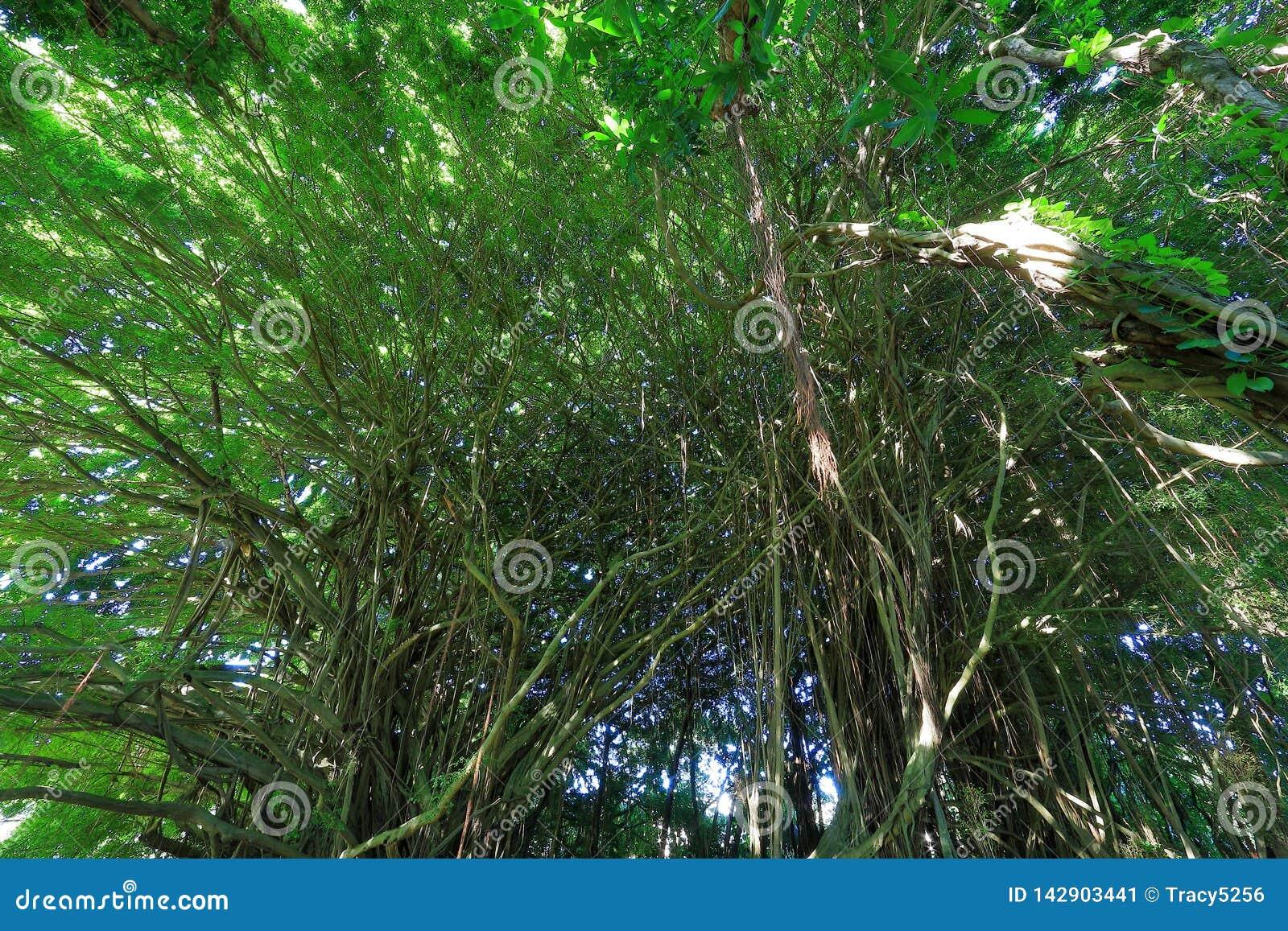 De bomen in Regenboog valt het park van de staat in Hawa?