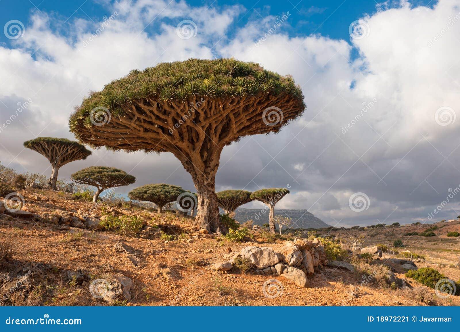 De bomen van de draak bij Homhil plateau, Socotra, Yemen