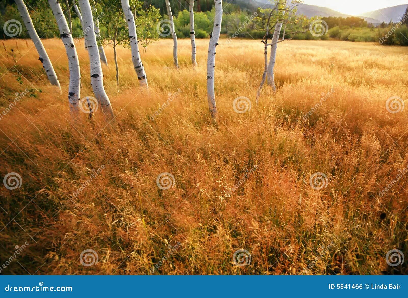 De Bomen van de esp in een Weide