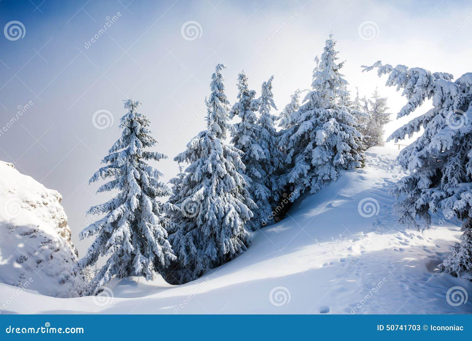 De Bomen van de pijnboom die in Sneeuw worden behandeld