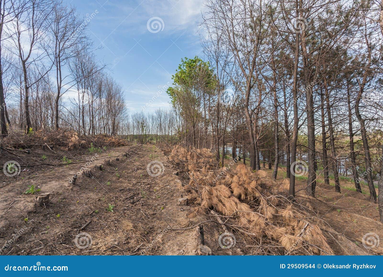 De bomen van de pijnboom na een bosbrand
