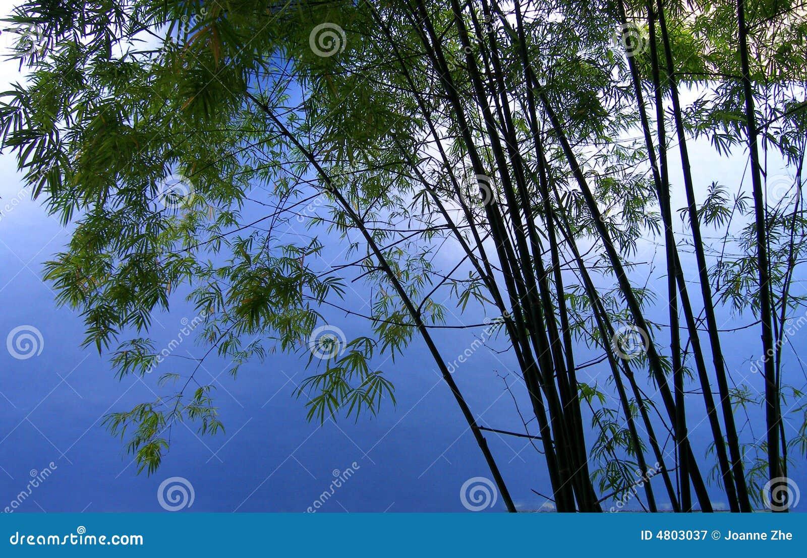 De bomen van het bamboe in bosje