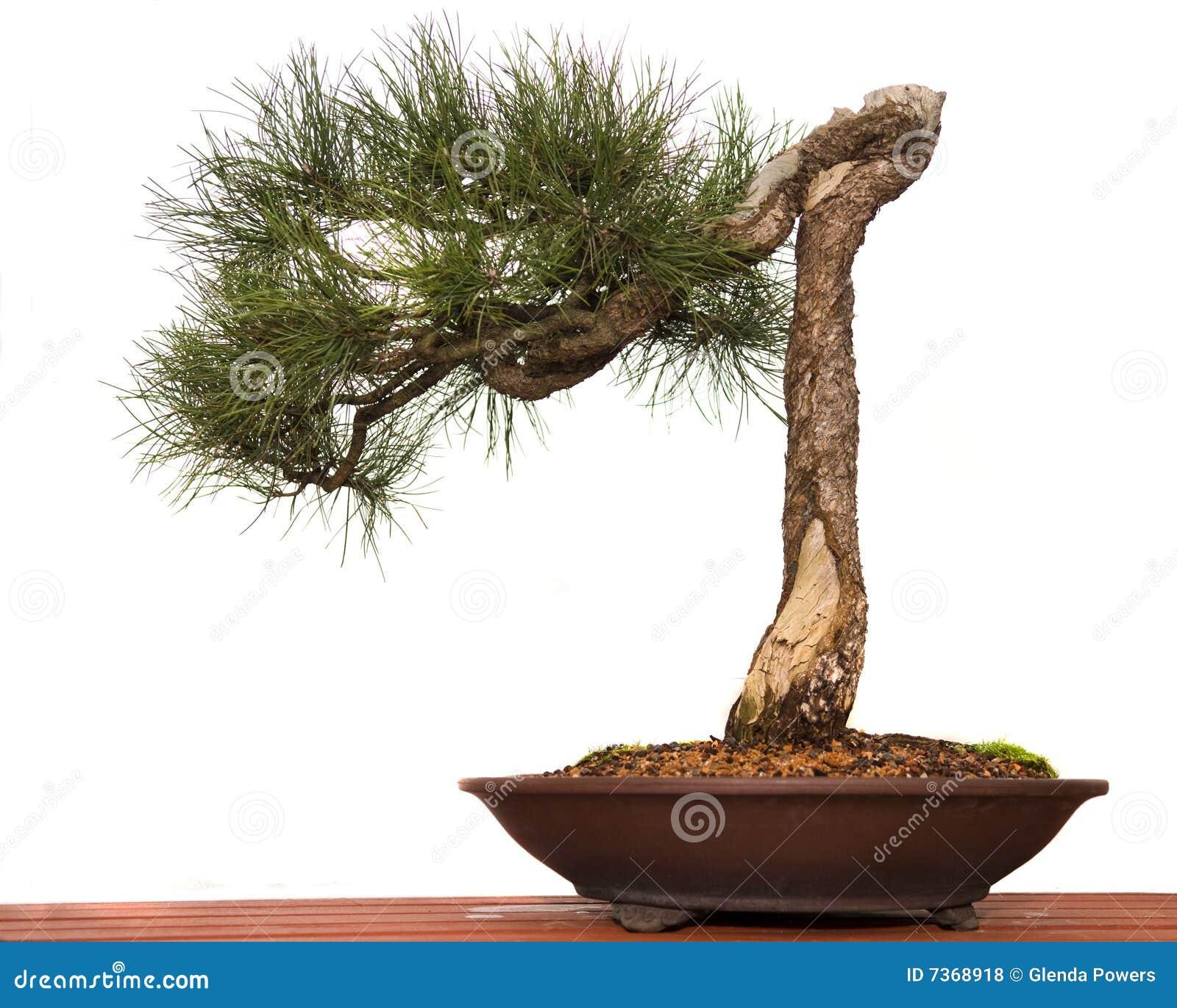 De Bonsai van de pijnboom