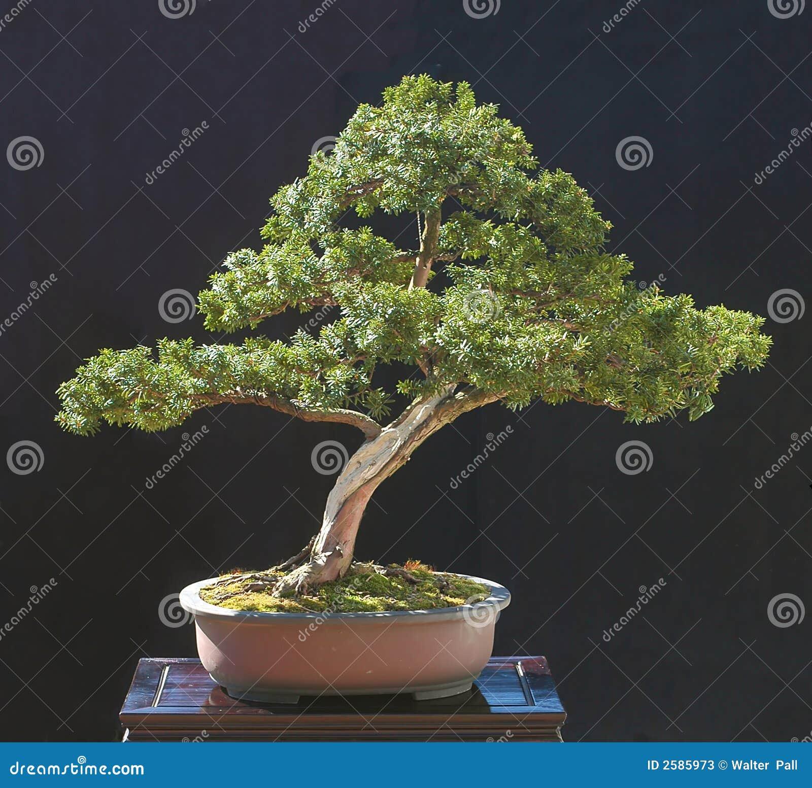 De bonsai van het taxushout