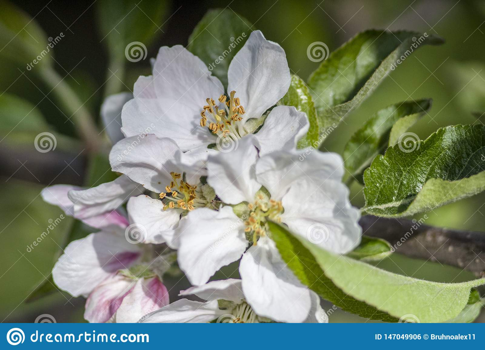 De boom is bloeiend De appelboom is bloeiend De lente Groene Tuin Bloeiwijze van appel Groene bladeren en bloemen wit