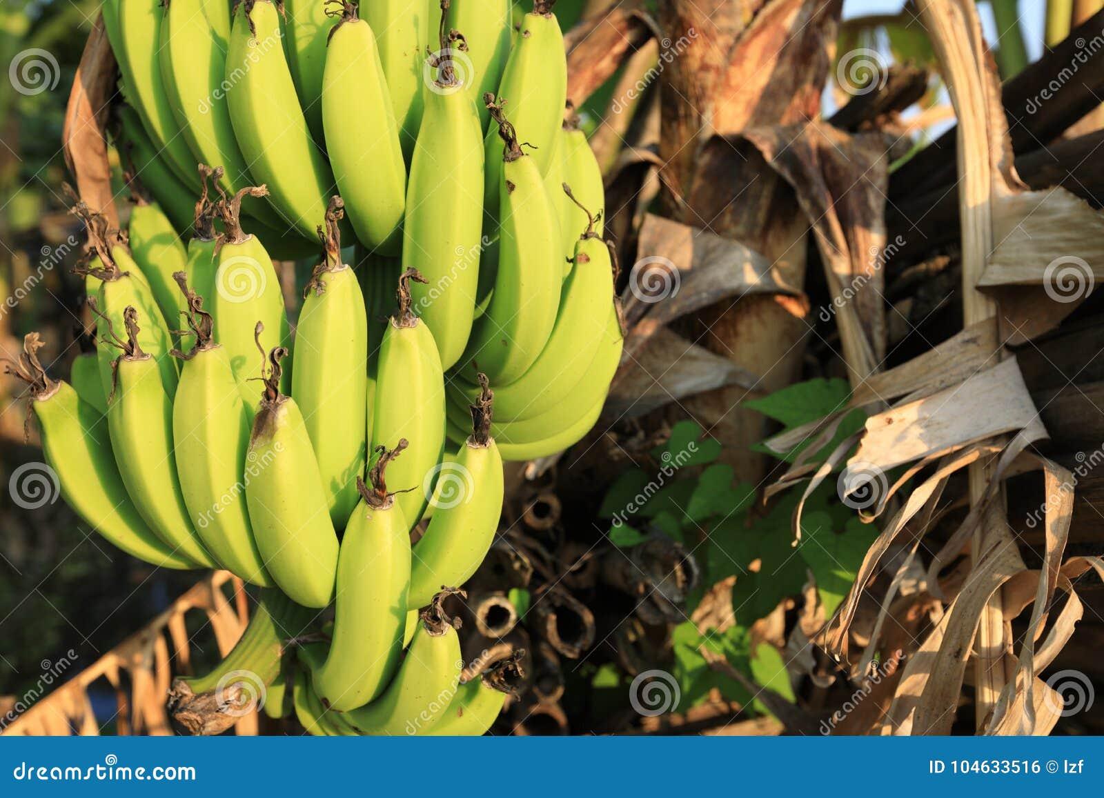 Download De Boom Van De Banaan Met Een Bos Van Bananen Stock Foto - Afbeelding bestaande uit nave, bananen: 104633516