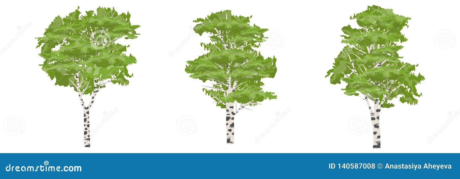 De boom van de berk Bomen van Europa en Amerika