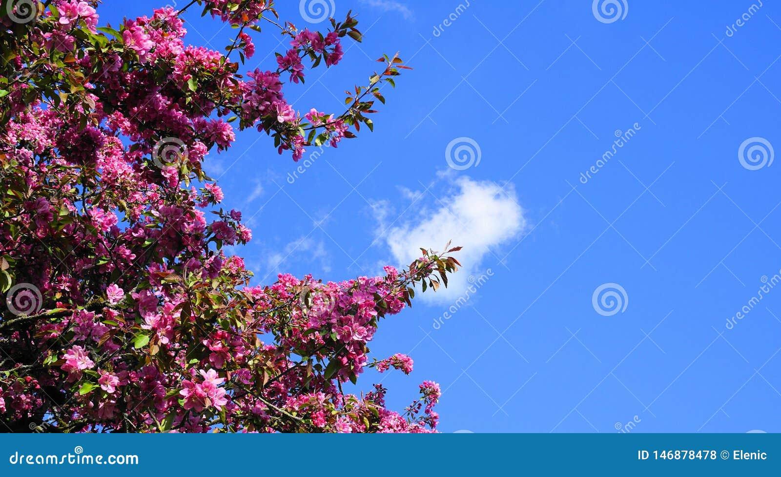De boom van Crabapple van de Malusroyalty met opzichtige en heldere bloemen tegen blauwe hemelachtergrond De Bloesem van de appel