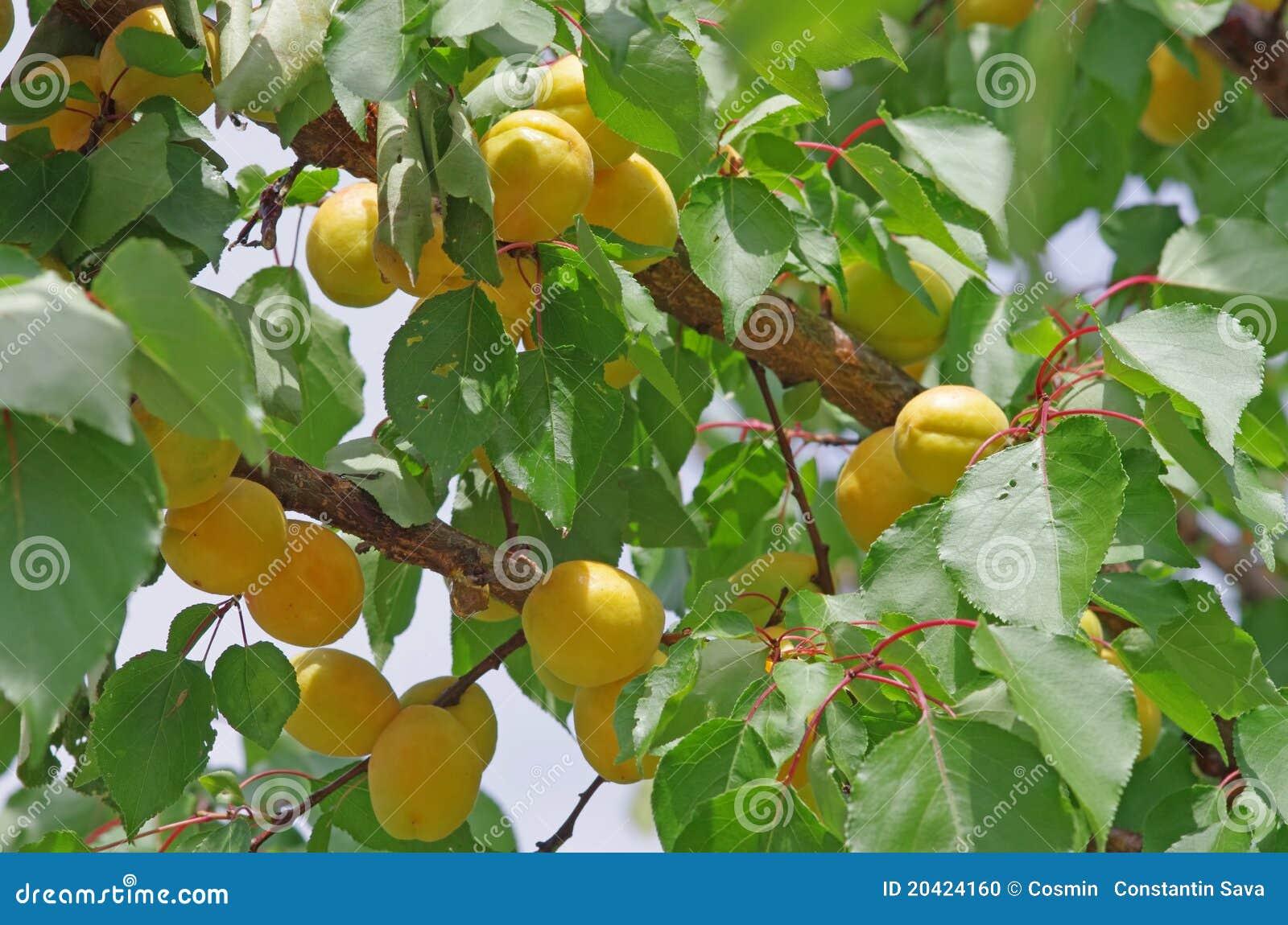 De boom van de abrikoos stock foto afbeelding bestaande uit growth 20424160 - Deksel van de boom ...