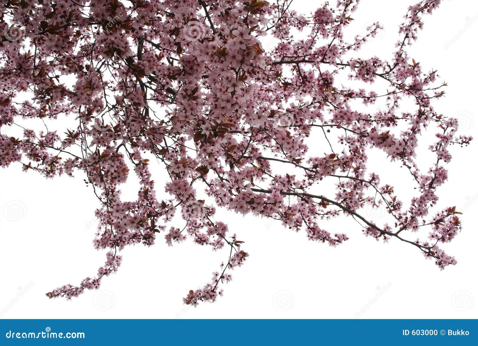 De boom van de amandel
