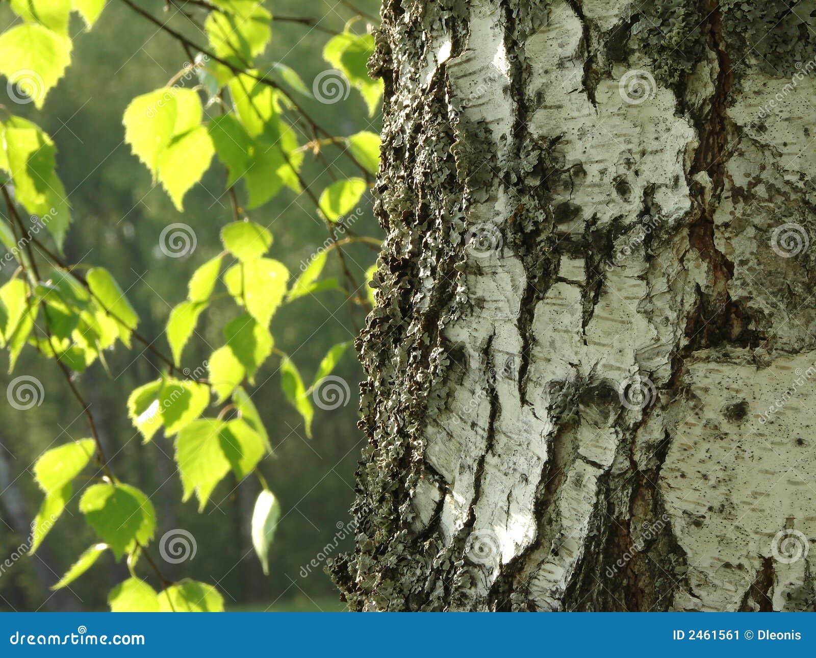 Birch trees in the winter stock photo image 2170700 - De Boom Van De Berk Stock Afbeelding