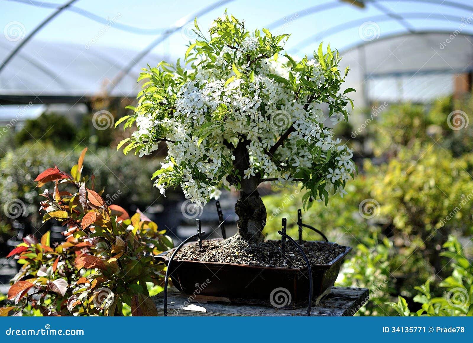 De boom van de bonsaiappel stock afbeelding afbeelding 34135771 - Deksel van de boom ...