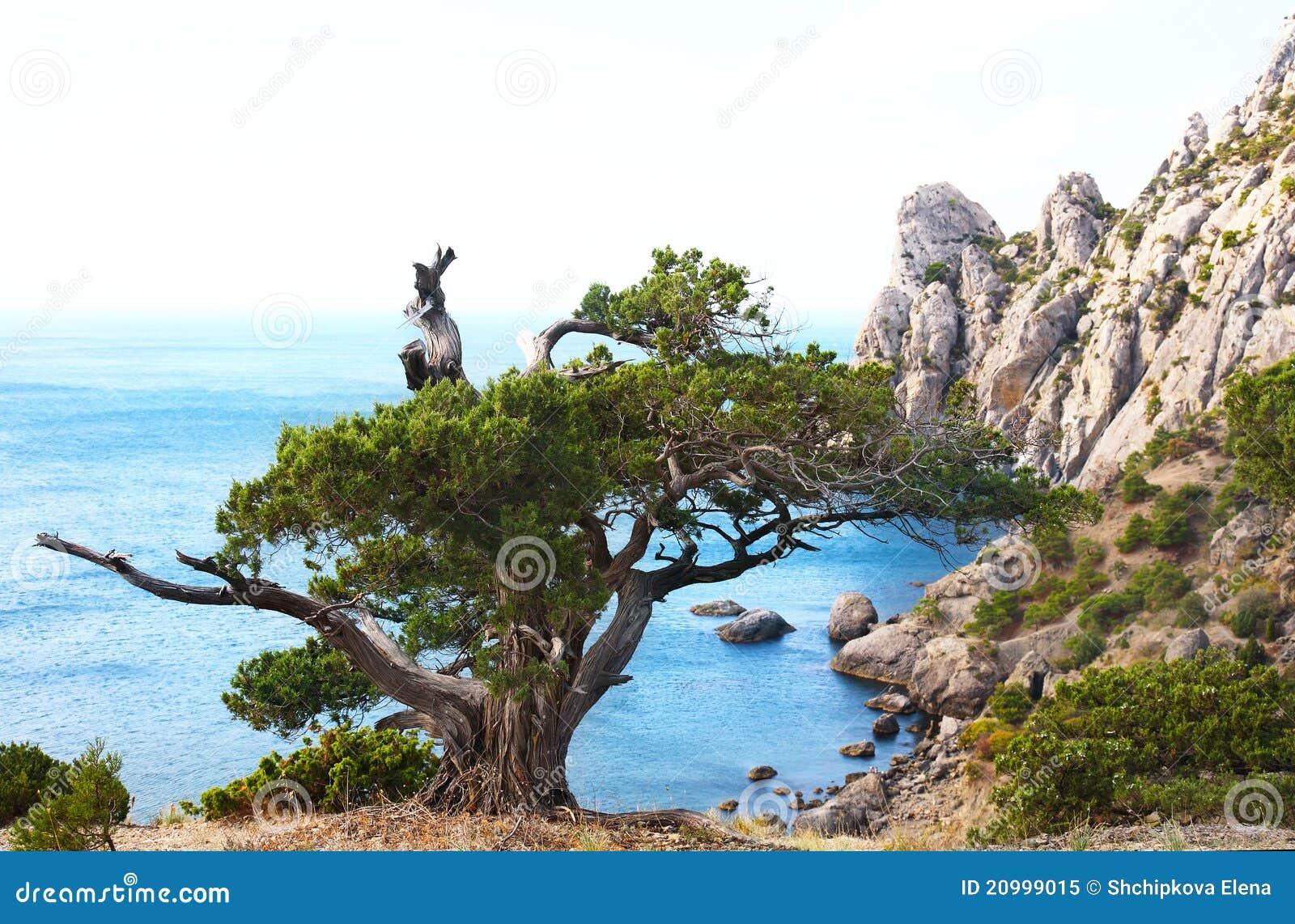 De boom van de jeneverbes op rots