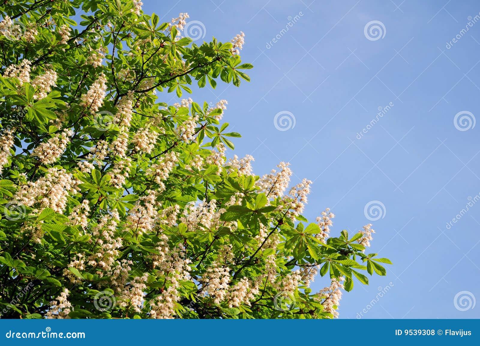 De boom van de kastanje