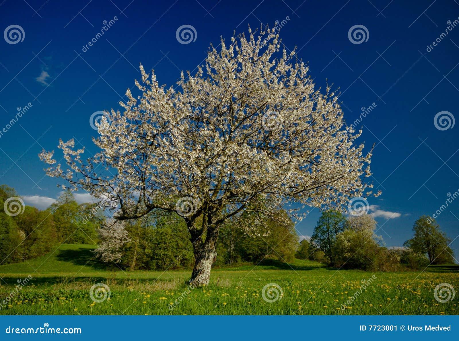 De boom van de kers stock afbeelding afbeelding 7723001 - Deksel van de boom ...