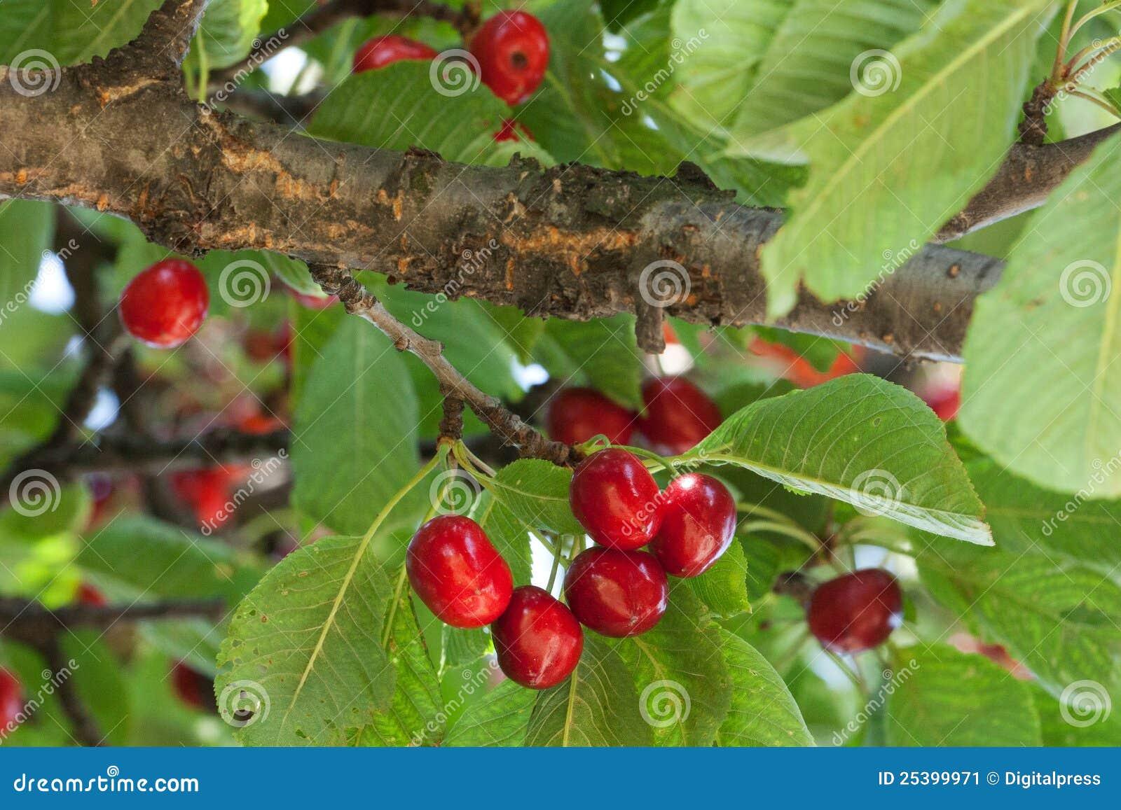 boom met rode vruchten