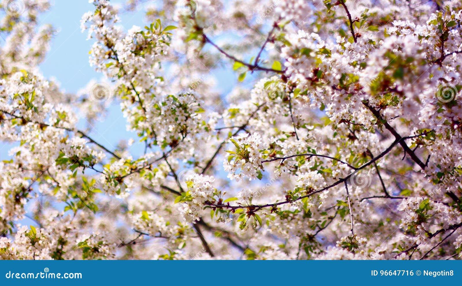 De boom van de lente