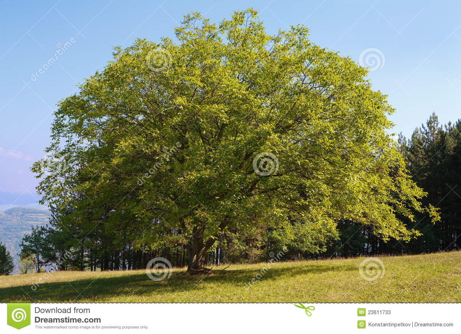 De boom van de okkernoot