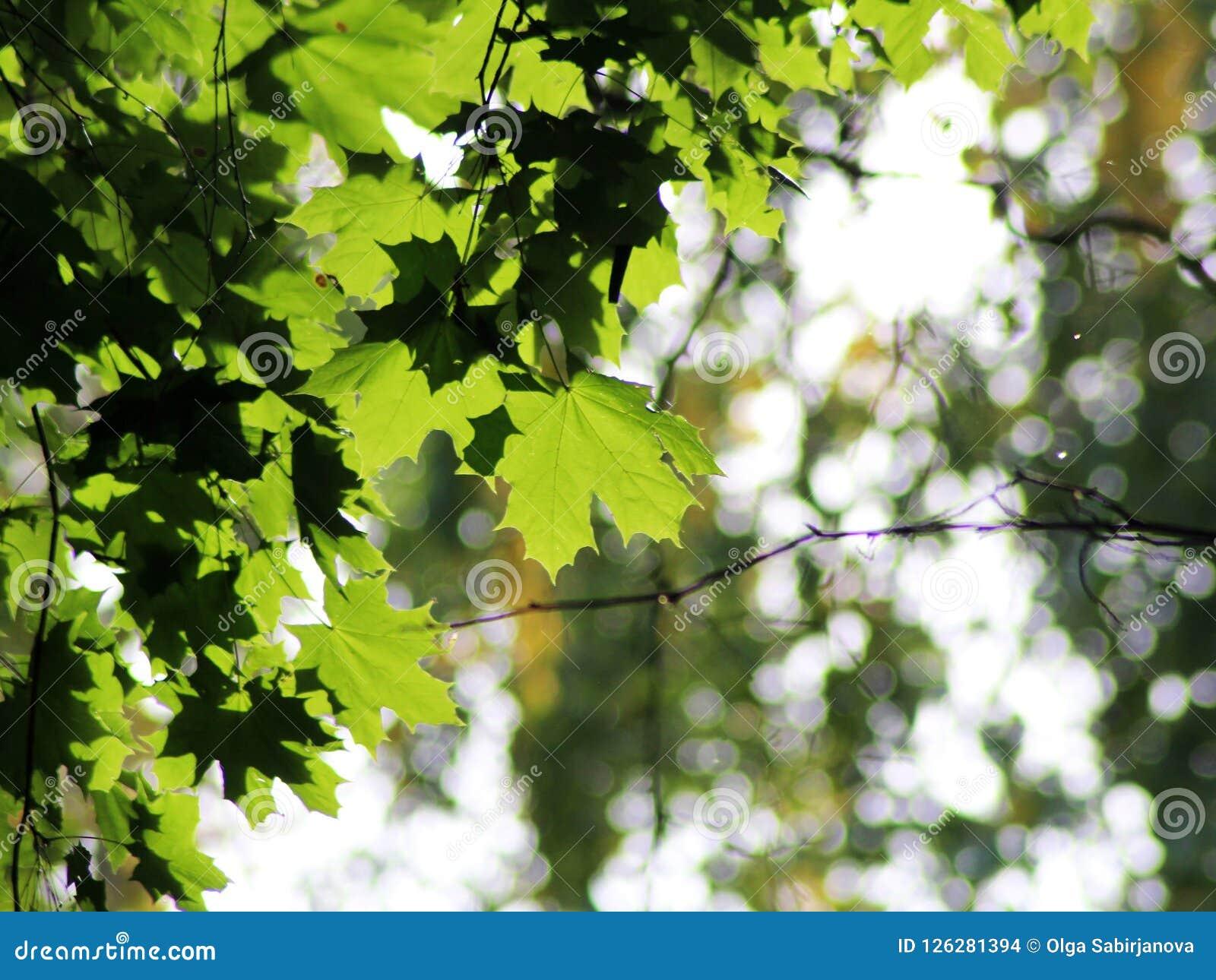 De boom van de esdoorn in de herfst