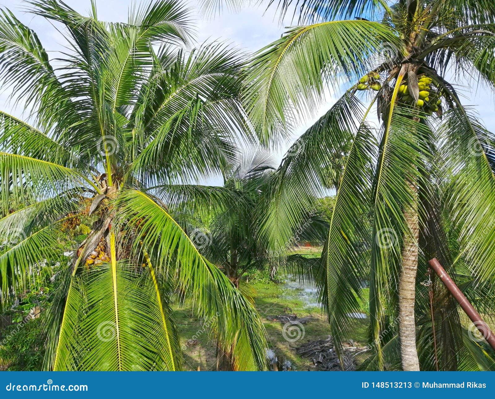 De boom van het kokosnotenlandbouwbedrijf met kokosnoot