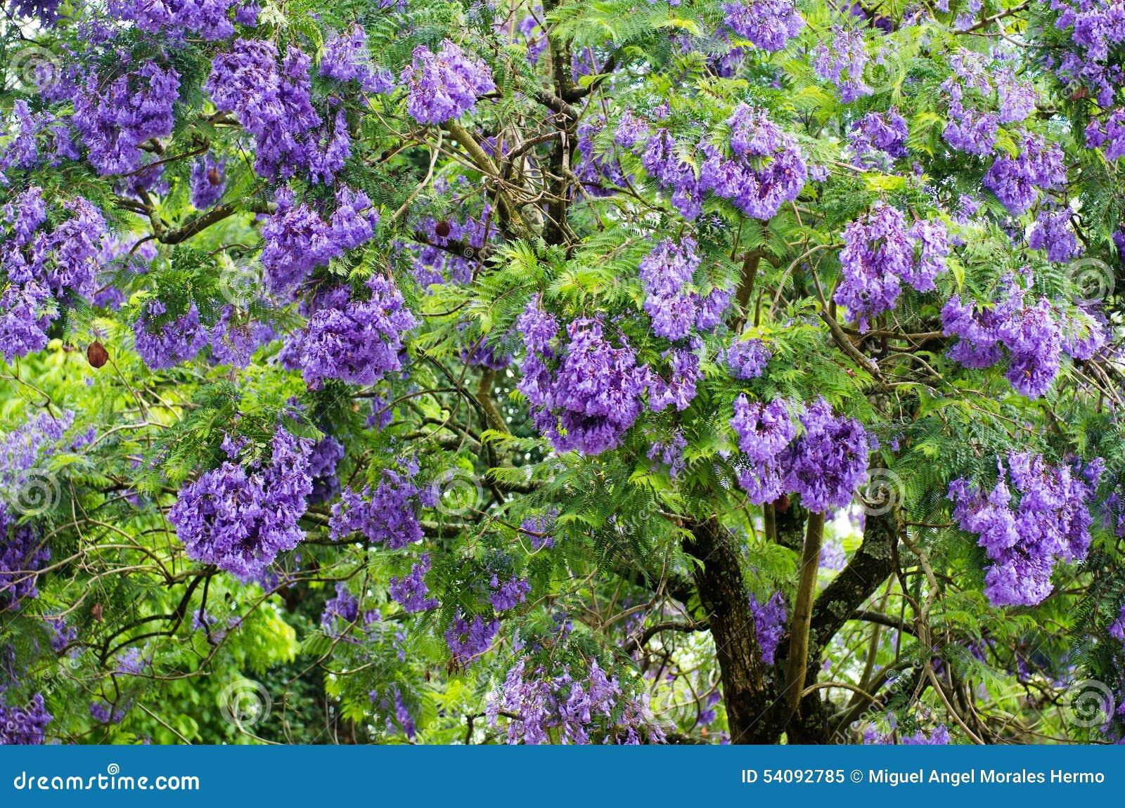 De boom van Jacaranda