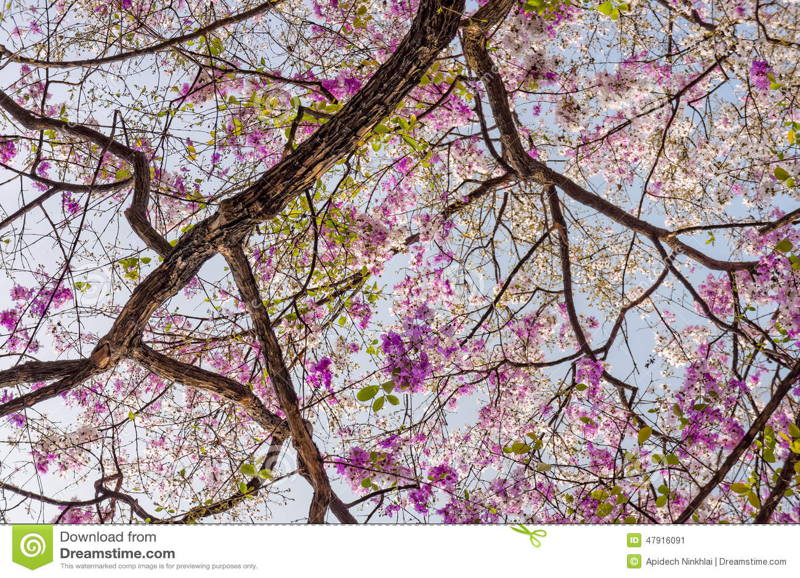 De boom van Lagerstroemiaspeciosa met roze bloemen