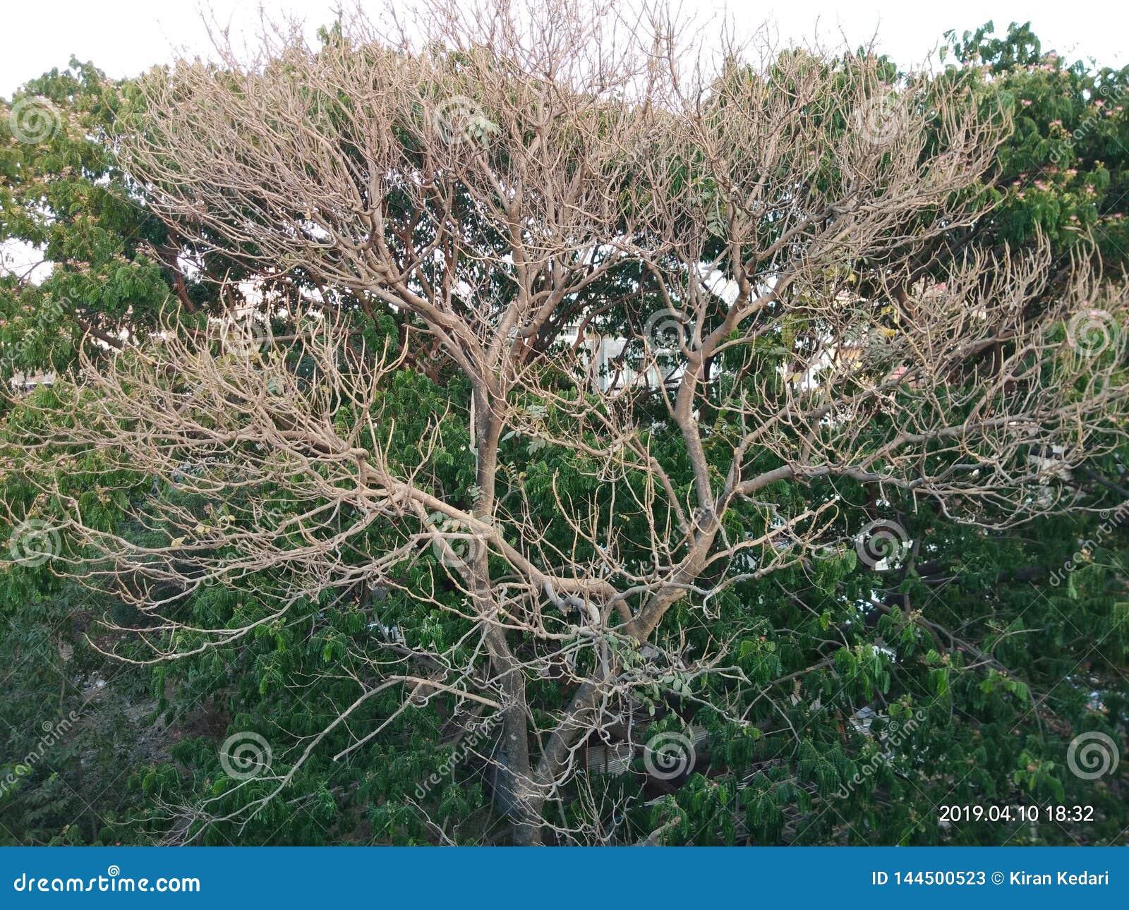 De boom zonder doorbladert