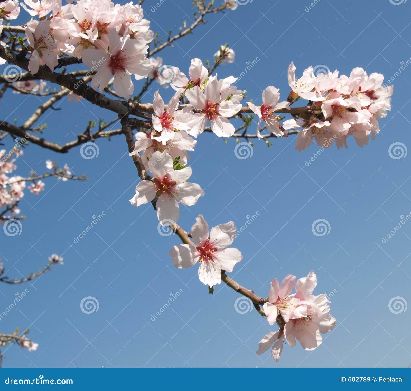 De boombloemen van de amandel