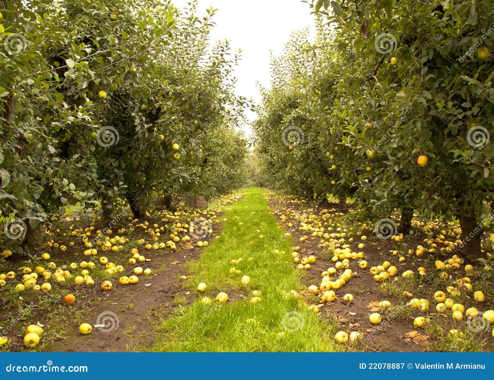 De Boomgaard van de appel