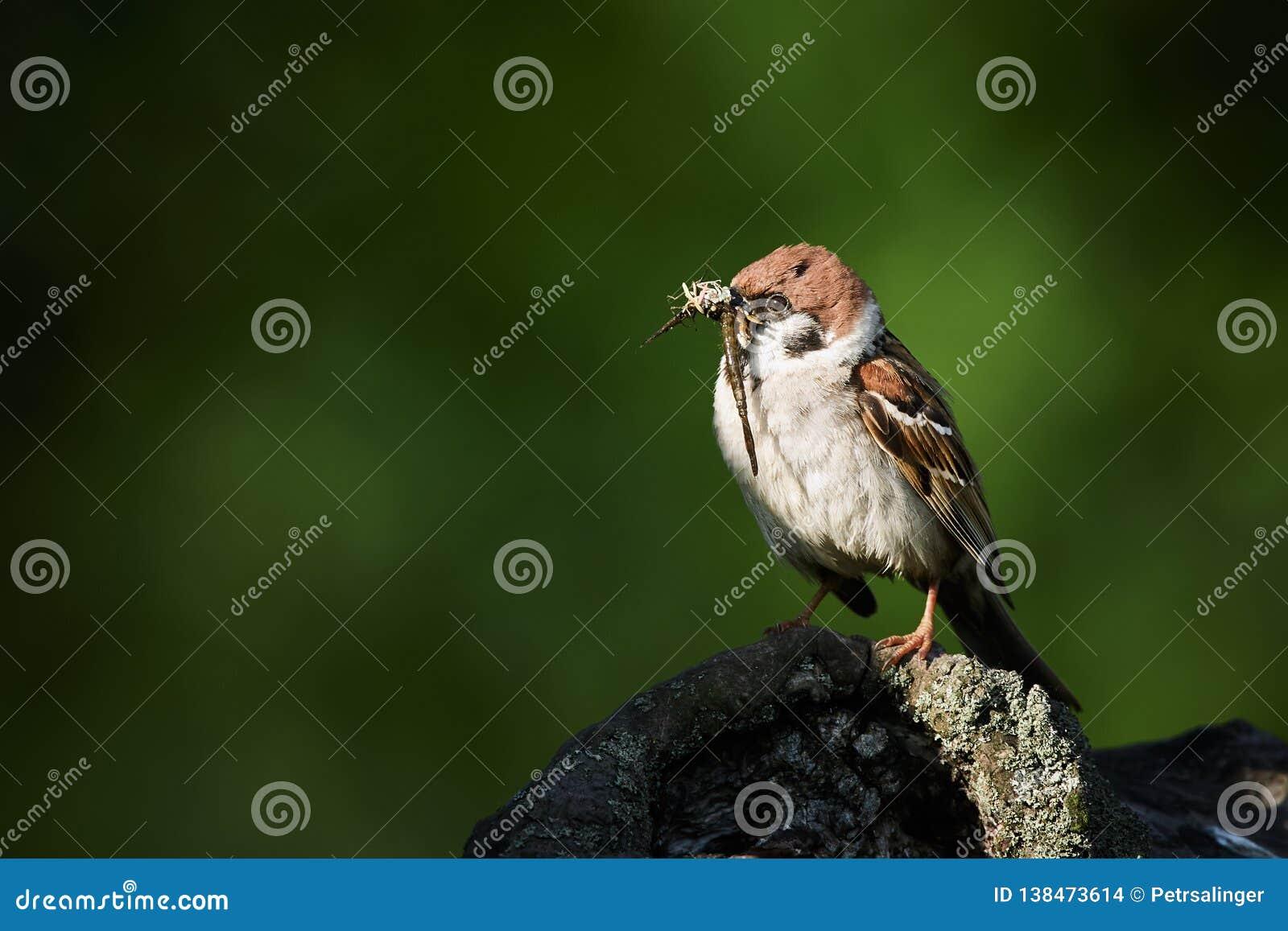 De boommus, Passer montanus, enige vogel voedt de jongelui door insecten
