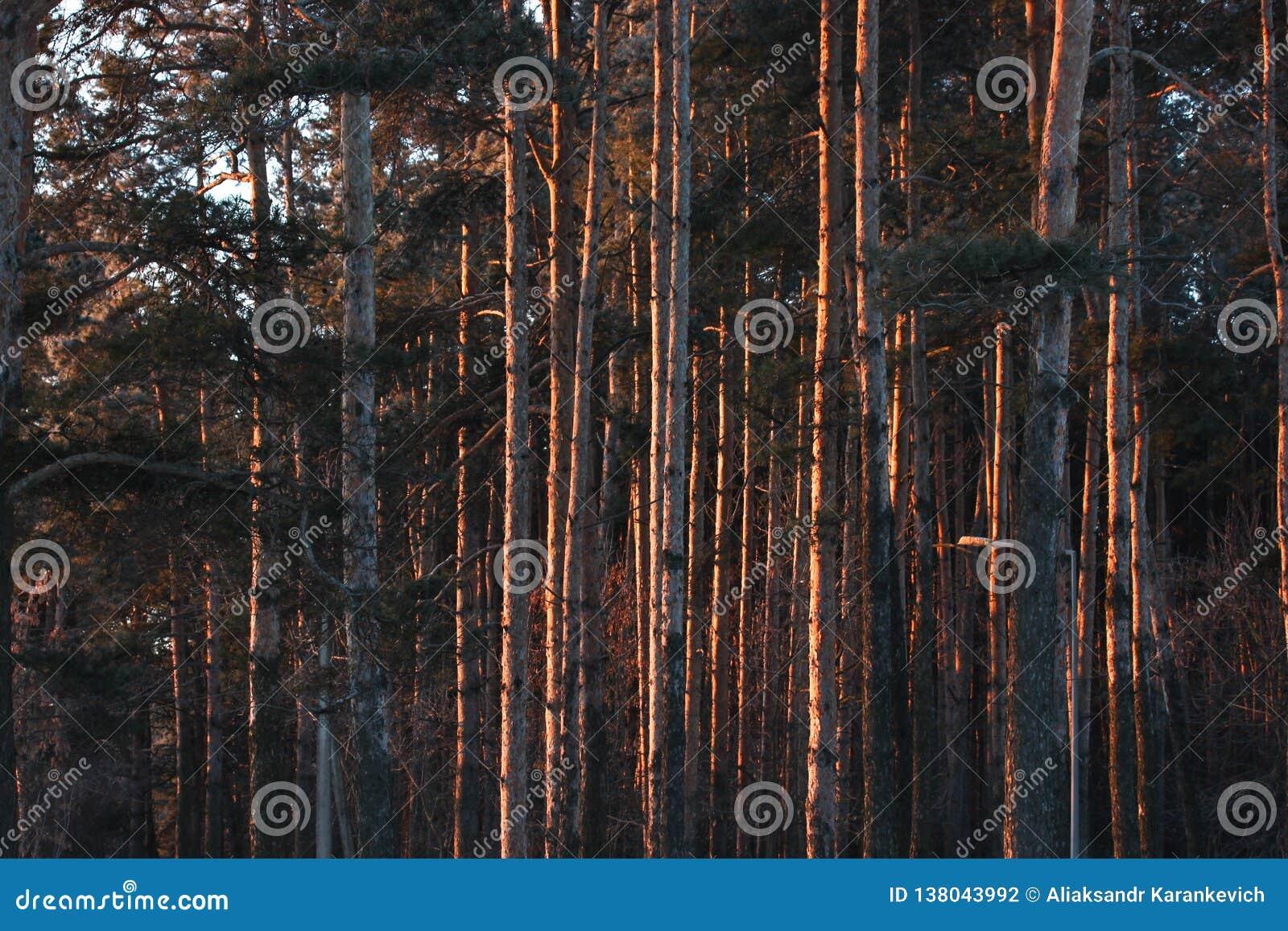 De boomstammen van de bomen bij dageraad het bos in de eerste stralen van de ochtendzon warm licht in het Park op een ijzige duid