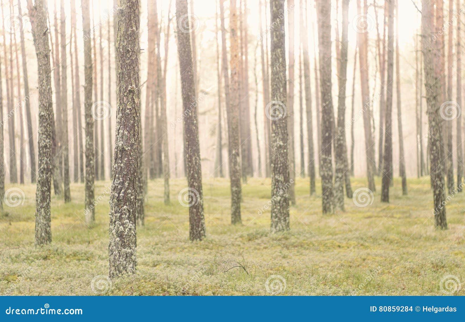 De boomstammen van de pijnboomboom in bos