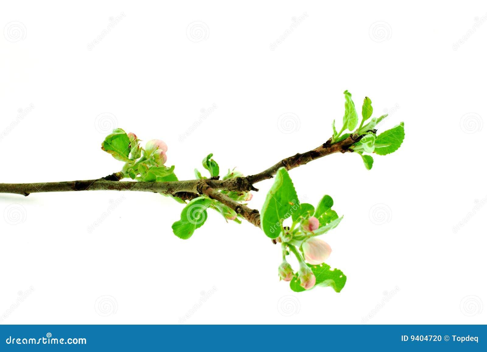 De boomtak van de appel