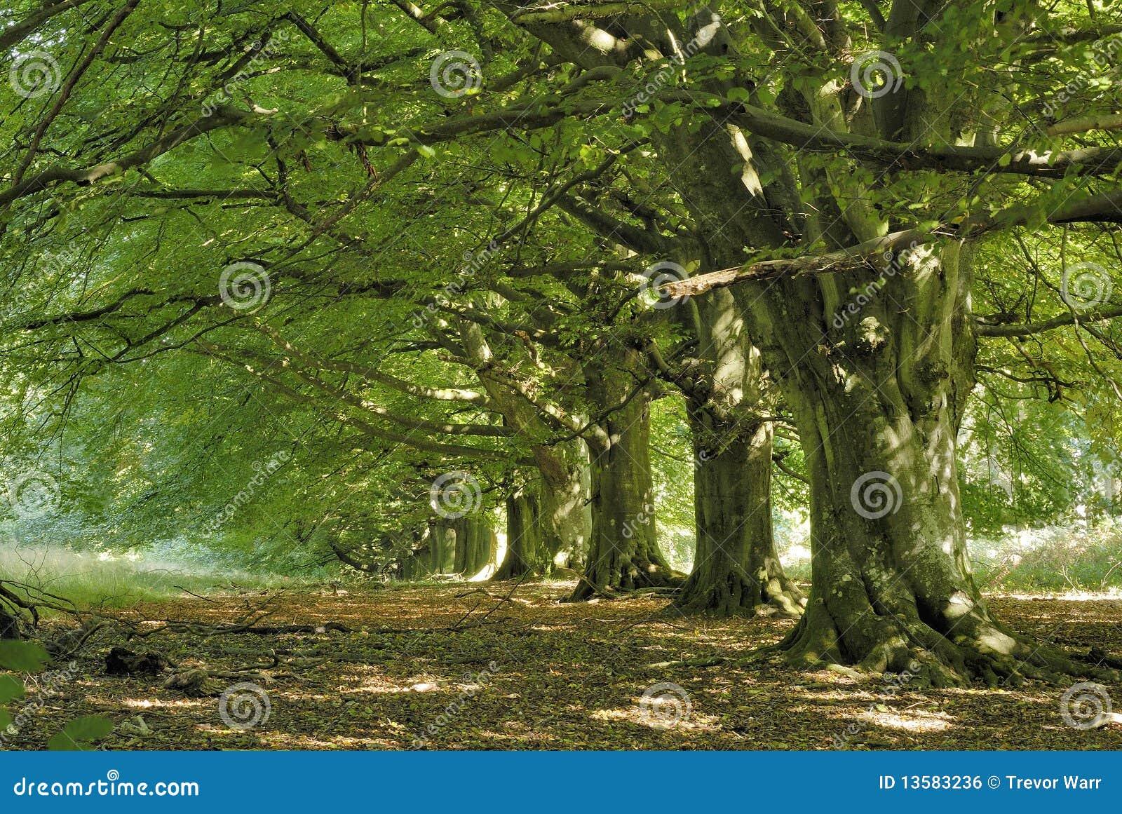 De boomweg van de beuk