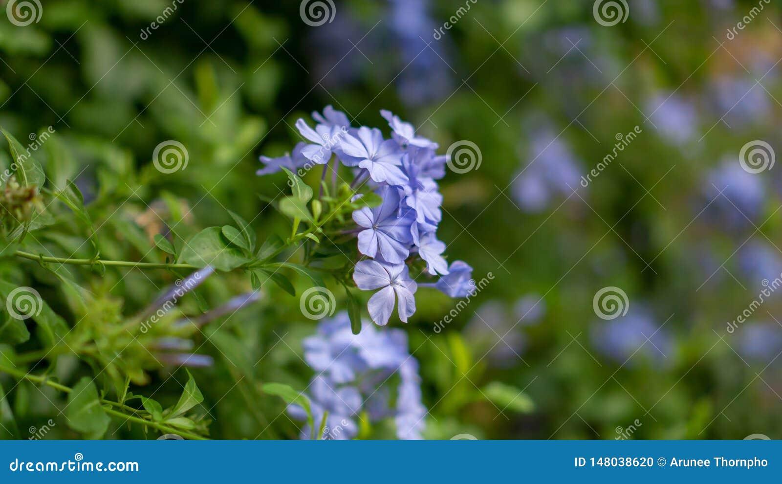 De bossen van blauwe uiterst kleine bloemblaadjes van Kaap die leadwort op groenbladeren en onscherpe achtergrond bloeien, kennen